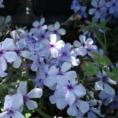 Image of Better Homes 2.5qt Bhg Phlox Chatahoochee