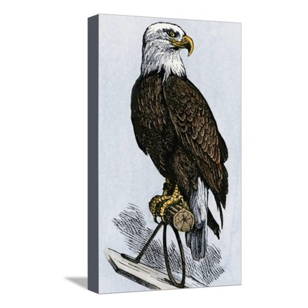 Old Abe, the Bald Eagle Mascot of Wisconsin's Iron Brigade, US Civil War Stretched Canvas Print Wall - Bald Eagle Mascot