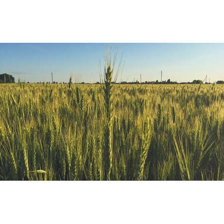 canvas print field nature wheat bread kolos spring cereals stretched canvas 10 x 14](Spring Break Decorations)