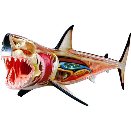 4d Vision Great White Shark Anatomy Model Walmart