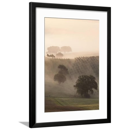 Italy, Tuscany. Fog drifts around vines and olive trees at sunrise. Framed Print Wall Art By Brenda Tharp