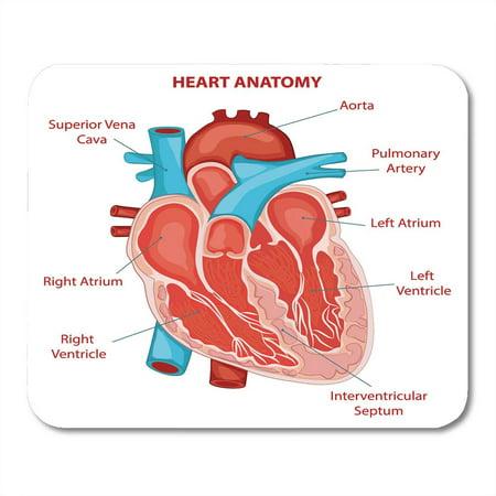 SIDONKU Chamber Human Heart Anatomy Cross Section Diagram Biology Structure Mousepad Mouse Pad Mouse Mat 9x10