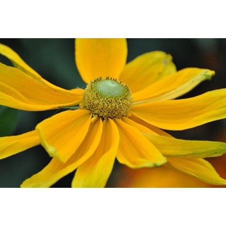 Marguerite Daisy - Framed Art for Your Wall Petal Flowers Spring Daisy Marguerite Garden 10x13 Frame