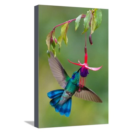 Green Violetear (Colibri Thalassinus) Feeding, Savegre, Costa Rica Hummingbird Photo Stretched Canvas Print Wall Art By Green Light (Best Bird Watching In Costa Rica)