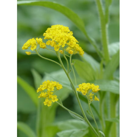 Canvas Print Golden Stone Herb Yellow Plant Flowers Flower Stretched Canvas 10 x