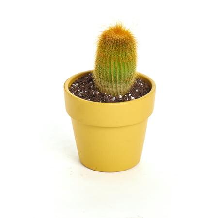 """Pastel Terracotta Cactus Spring Succulent Planter - Arrives Planted - Low Maintenance House Plants - Mustard 4"""""""