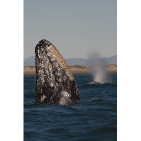 Mexico, Baja California, Gray Whale Spyhopping in the San Ignacio Lagoon, Sea of Cortez Print Wall Art By Judith Zimmerman