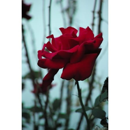 LAMINATED POSTER Plant Rose Single Bush Red Floral Stem Flower Poster Print 24 x 36