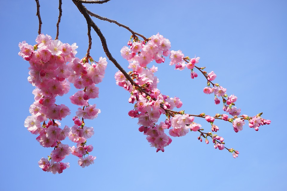 Peel N Stick Poster Of Japanese Cherry Trees Branch Pink Flowers