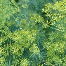 Seeds Of Change Dill Seeds