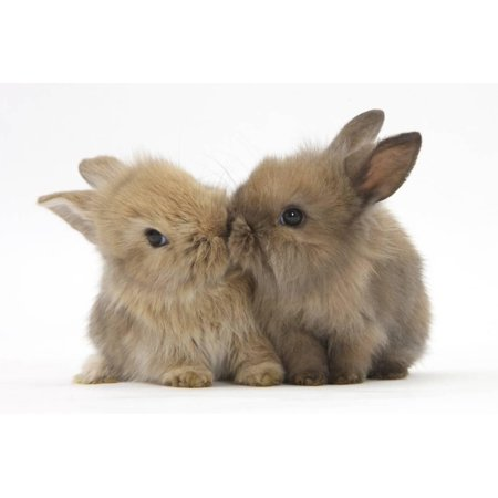 Two Baby Lionhead-Cross Rabbits, Touching Noses Print Wall Art By Mark (Nose'n Around Rabbit Nose)