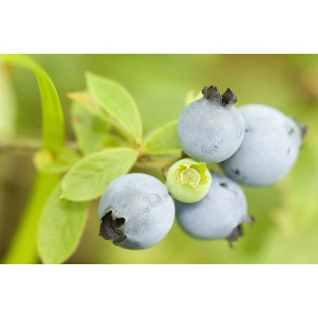 Canvas Print Ripened Fruit Fruits Cluster Blueberries Wild Stretched Canvas 32 x 24 - Halloween Cluster Frames