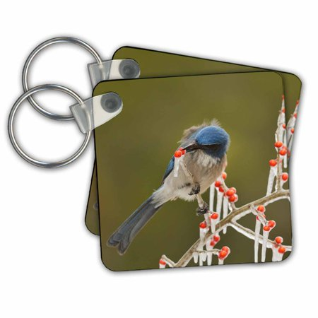 3dRose Western Scrub Jay picking berries of a icy branch, Hill Country, Texas - Key Chains, 2.25 by 2.25-inch, set of 2
