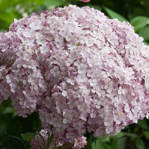 Hydrangea-Incrediball-Blush - QT Pot (Shrub)