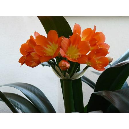 LAMINATED POSTER Orange Clivia Miniata Clivia Pleasure Flower Poster Print 24 x