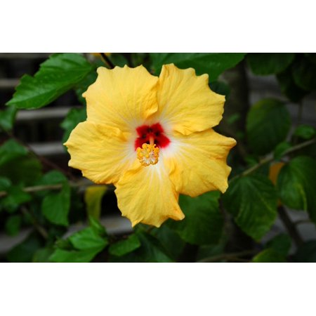LAMINATED POSTER Tropical Yellow Hibiscus Flower Floral Hibiscus Poster Print 24 x 36