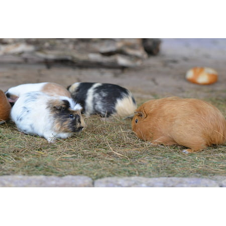 Zoo Pig - Canvas Print Eat Sweet External Attitude Zoo Guinea Pig Small Stretched Canvas 10 x 14