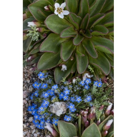 Colorado, American Basin, Alpine Spring Beauty and Alpine Forget-Me -Not Print Wall Art By Judith Zimmerman (Party America Colorado Springs)