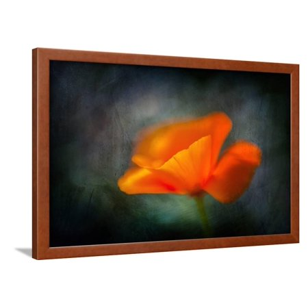 California Poppy 2 Framed Print Wall Art By Ursula Abresch