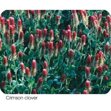 The Dirty Gardener Flowering Crimson Clover - 1 Pound