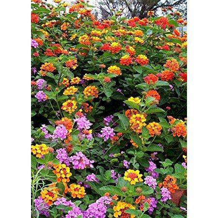 - Lantana Camara Flowers - Two (2) Live Plants - Not Seeds - Natural Mosquito Repellant Garden - Attract Hummingbirds & Butterflies - Each 3
