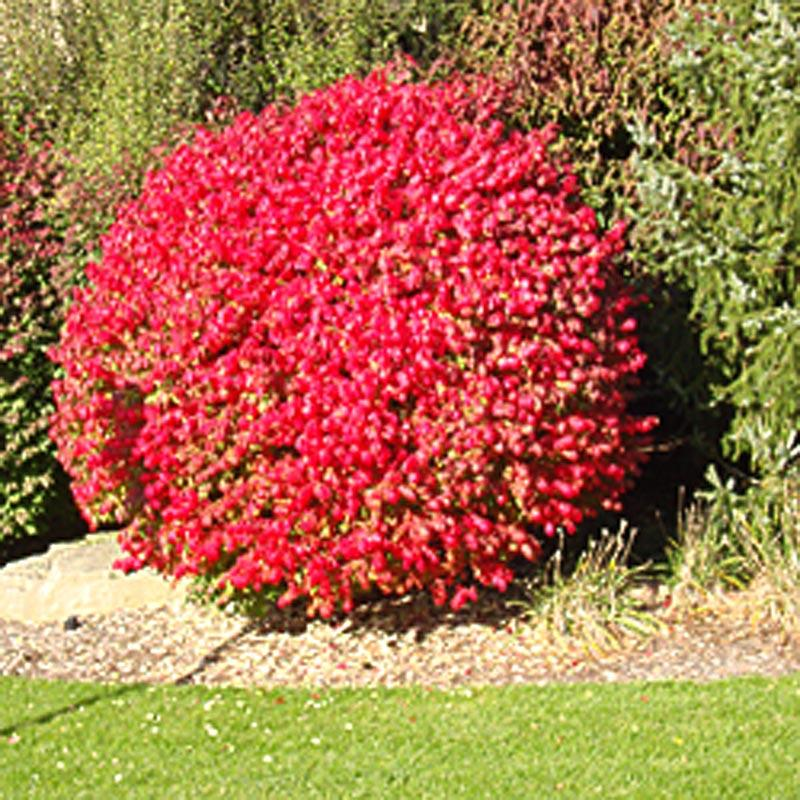 Image result for red shrubs