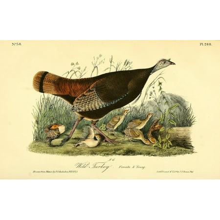 J.J. Audubon Stretched Canvas Art - Birds of America 1844 Wild ...
