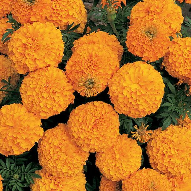 100 Pc  yellow Chrysanthemum Flower Seeds bright color Home Garden