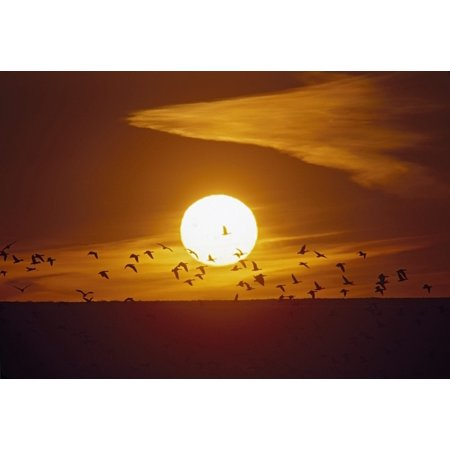 Bosque Del Apache New Mexico United States Of America Snow Geese  Chen Caerulescens  Flying In Front Of The Sun Posterprint