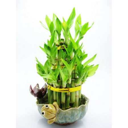9GreenBox - Live 3 Layer Cake Lucky Bamboo Plant Arrangement w/ Frog & Lotus Handmade Ceramic Pot 40 stalk *GIFT*
