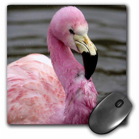 3Drose Andean Flamingo  Tropical Bird  England   Eu33 Pox0010   Pete Oxford  Mouse Pad  8 By 8 Inches