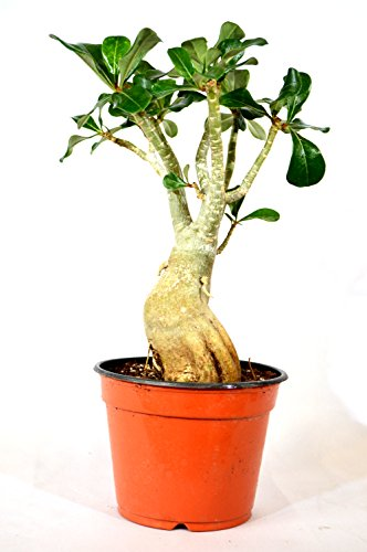 9GreenBox Adenium Desert ROSE Miss Beauty House Plant Bonsai by 9GreenBox