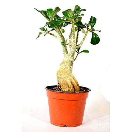 9GreenBox - Adenium Desert ROSE Miss Beauty House Plant -
