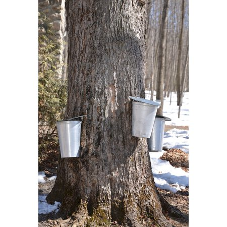LAMINATED POSTER Spring Sap Tree Syrup Maple Syrup Maple Sugar Poster Print 24 x 36