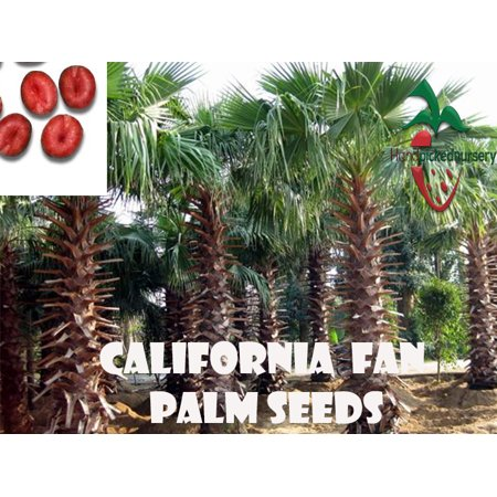 25  California Fan Palm seeds, ( WASHINGTONIA FILIFERA ) from Hand Picked Nursery