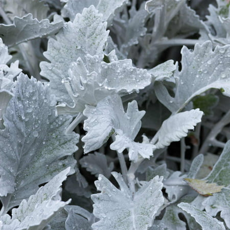 Decorative House Plants - New Look Dusty Miller House Plant Seeds - 1000 Seeds - Annual Ornamental Decorative Garden Plant Seeds - Senecio cineraria