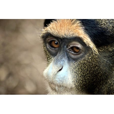 Canvas Print Gibbon Monkey Zooaufnahme Stretched Canvas 10 x - Gibbon Monkey