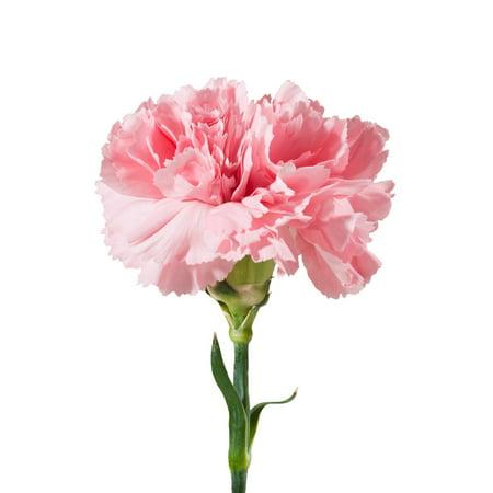 Natural Fresh Flowers - Pink Carnations, 100 (Pink Carnation)