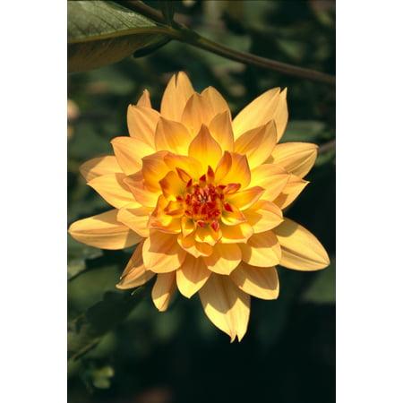 Close up single dahlia flower on plant orange yellow with red center close up single dahlia flower on plant orange yellow with red center tips posterprint walmart mightylinksfo