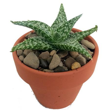 White Fox Aloe Vera - Medicine Plant/Burn Plant/Miracle Plant - 2.5