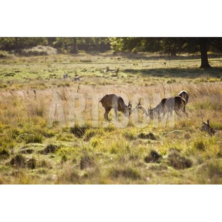 Red Deer Stags during Rut Season in Richmond Park London England Print Wall Art By (Best Place To See Deer In Richmond Park)