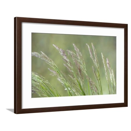 USA, Washington State, Seabeck. Velvet grass close-up. Framed Print Wall Art By Jaynes