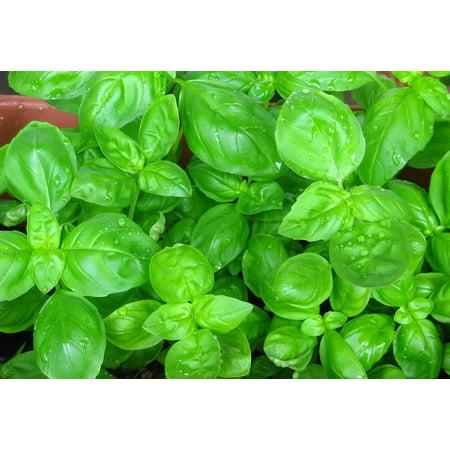 "Sweet Large Leaf Italian Basil - Must Have Herb - 3"" Pot"