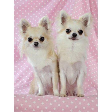 Chihuahua Dog Art (Chihuahua Dog Print Wall Art)