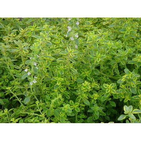 Golden Lemon Thyme Plant- Two (2) Live Plants - Not Seeds -Each 4
