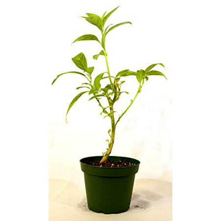 9GreenBox - Night Blooming Jasmine - 4'' Pot Blooming Pear Tree
