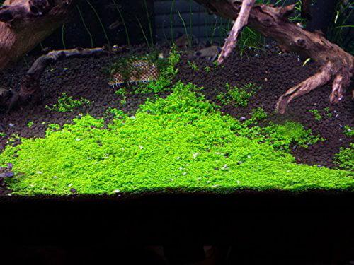 Dwarf Baby Tears on 5 x 3 mat Foreground Carpet Aquarium Plant by Aquarium Plants & Pets