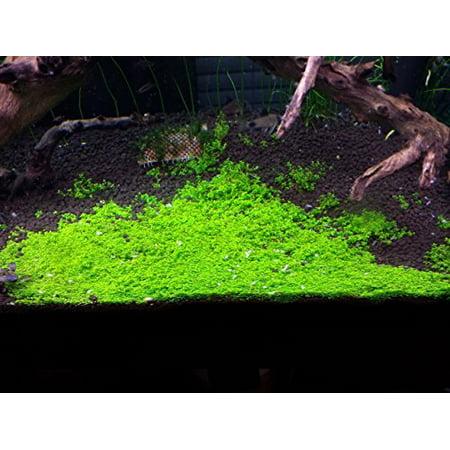 Dwarf Baby Tears on 5 x 3 mat - Foreground Carpet Aquarium Plant