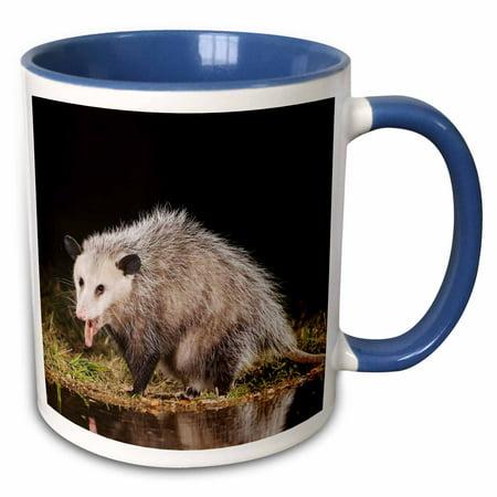 3dRose Virginia Opossum wildlife, Hill Country, Texas - NA02 RNU0819 - Rolf Nussbaumer - Two Tone Blue Mug, 11-ounce