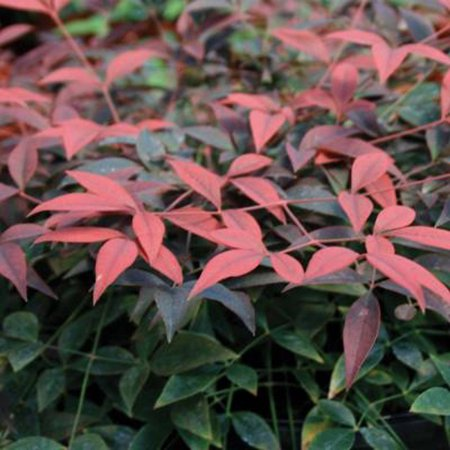 Flirt Nandina | Evergreen Ground-cover Shrub - Southern Living Plant